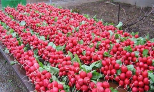Выращивание редиса в теплице | Бизнес идея