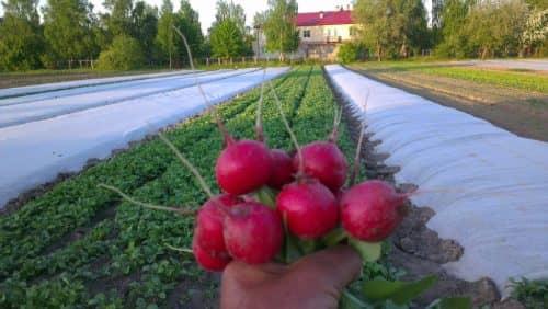 Методы выращивания редиса
